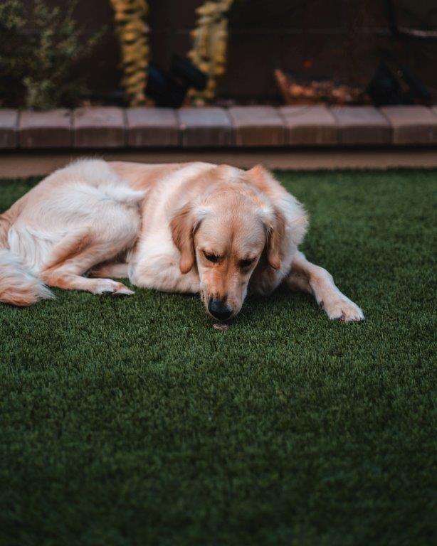 dog on pet turf